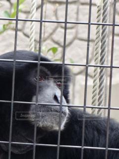 檻の中の吠え猿の写真・画像素材[1077265]