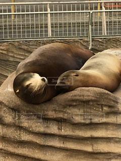 親子で横に寝ているアシカの写真・画像素材[1088152]