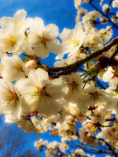 サクラの花の写真・画像素材[1088200]