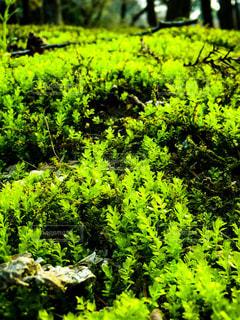 森の中の緑の植物の写真・画像素材[1088511]