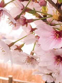 桜の写真・画像素材[1103061]