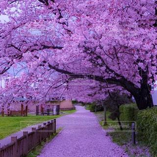 道にピンクのサクラの木の写真・画像素材[1108100]