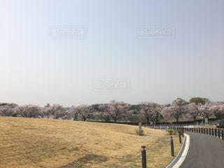 芝生から見るサクラの写真・画像素材[1108111]