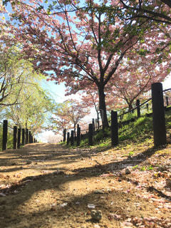 桜の道の写真・画像素材[1116907]