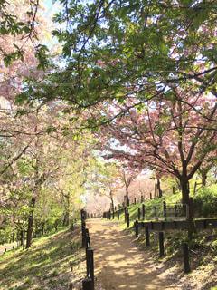 桜の道の写真・画像素材[1116925]