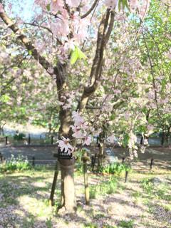 桜の写真・画像素材[1117054]