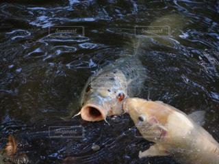 水の下で泳ぐ鯉の写真・画像素材[1117078]