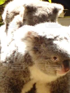 コアラの親子の写真・画像素材[1166459]