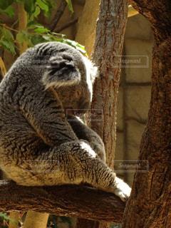 枝の上に座ってコアラの写真・画像素材[1166466]