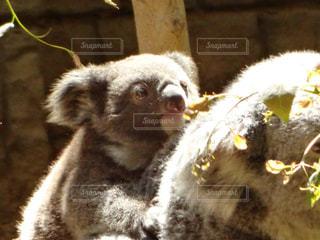可愛いコアラの子供の写真・画像素材[1166470]