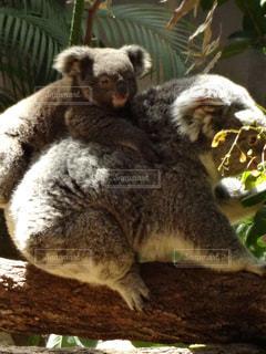 親にしがみつくコアラの子供の写真・画像素材[1166472]