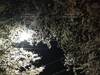 夜桜の写真・画像素材[328190]