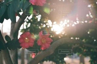花の写真・画像素材[9288]