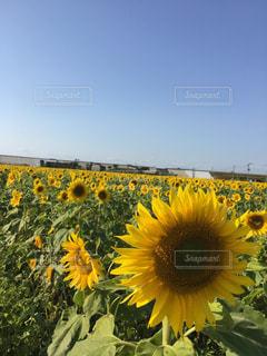 黄色の花の写真・画像素材[952925]