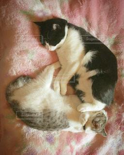 毛布の上に横になっている猫の写真・画像素材[822814]