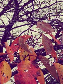 桜の葉の写真・画像素材[824844]