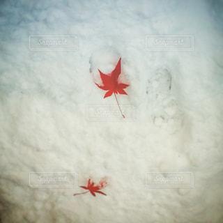 雪の白ともみじの赤の写真・画像素材[824846]