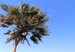 ツリーの横にあるヤシの木のグループの写真・画像素材[999910]
