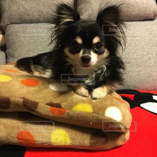 ソファーに横になっている小さな黒い犬の写真・画像素材[1055350]