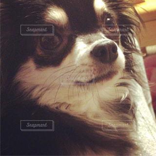 カメラを見て茶色と白犬の写真・画像素材[1055353]