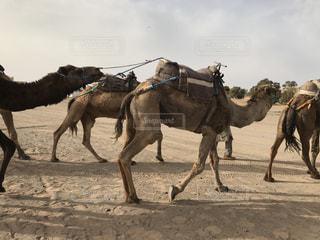 砂の中を歩くラクダの写真・画像素材[1169192]