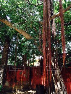 森の大きな木の写真・画像素材[755641]