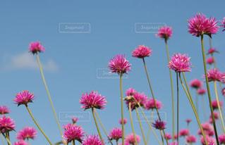 ピンクの花と青空の写真・画像素材[2610906]