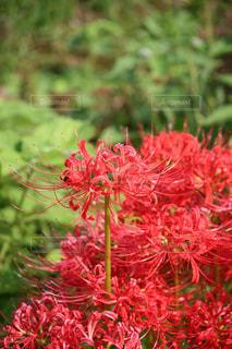 真っ赤な彼岸花の写真・画像素材[2611148]