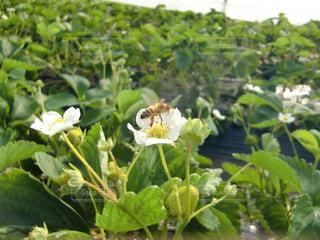 ミツバチと苺の写真・画像素材[2614841]