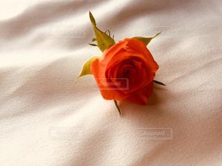 オレンジ色のバラの写真・画像素材[2691266]