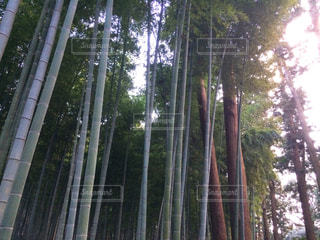 竹林の写真・画像素材[330814]