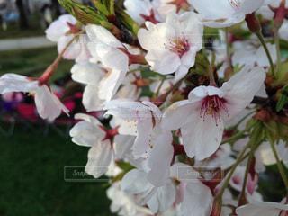 花の写真・画像素材[333065]
