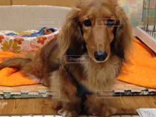 犬の写真・画像素材[333066]