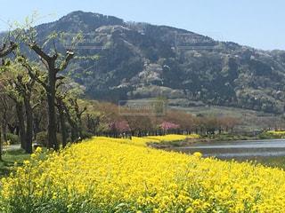 背景の山と黄色い花の写真・画像素材[1160703]