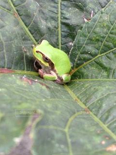 カエルの写真・画像素材[335511]
