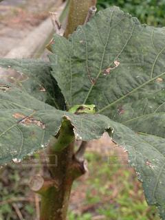 カエルの写真・画像素材[335514]