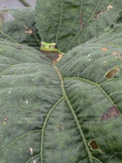 カエルの写真・画像素材[335515]