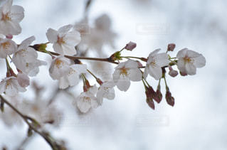 春の写真・画像素材[335310]