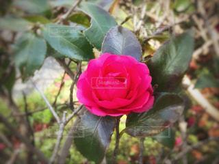 花の写真・画像素材[352595]