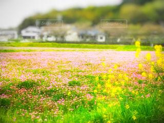 レンゲ畑と菜の花の写真・画像素材[443921]