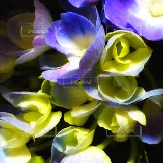 花の写真・画像素材[576029]