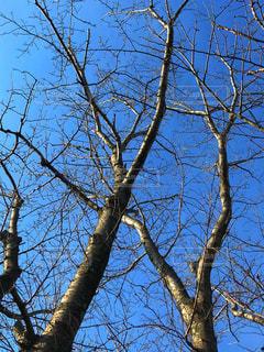 桜の木の写真・画像素材[1011683]