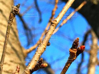 桜の蕾の写真・画像素材[1011706]