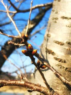 桜の蕾の写真・画像素材[1052495]