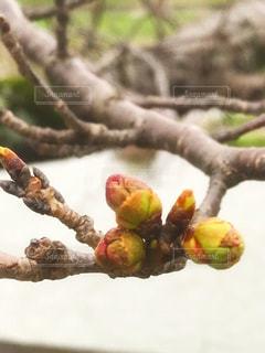 膨らんだ桜の蕾 - No.1067889