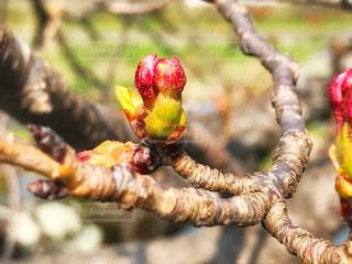 桜の蕾の写真・画像素材[1088377]
