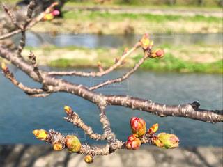 桜の蕾の写真・画像素材[1088382]