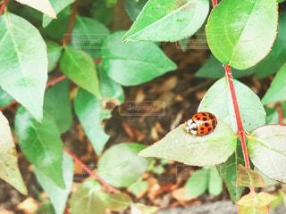 てんとう虫の写真・画像素材[1151493]