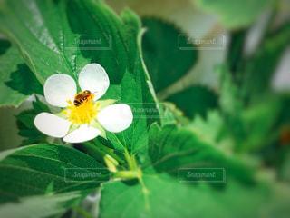 イチゴの花とミツバチの写真・画像素材[1156708]