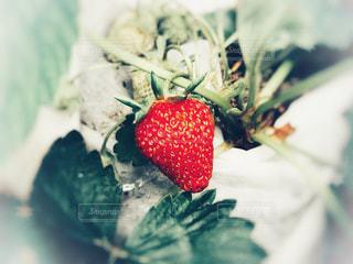 苺の写真・画像素材[1171179]
